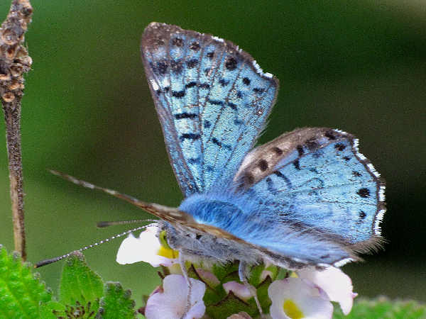 picture of a blue metalmark