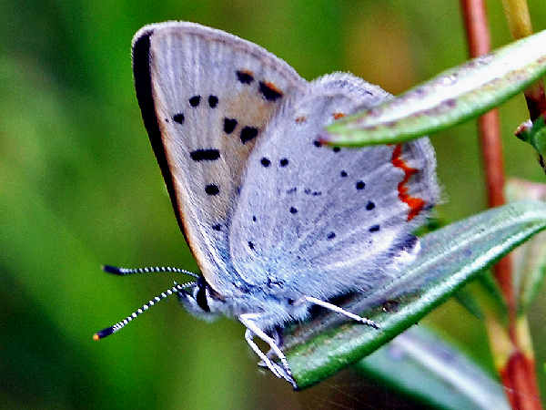 picture of a Bog Copper butterfly