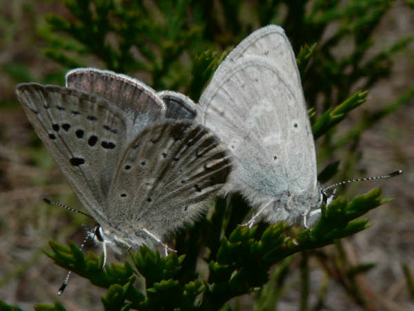 picture of Boisduval's blue butterflies