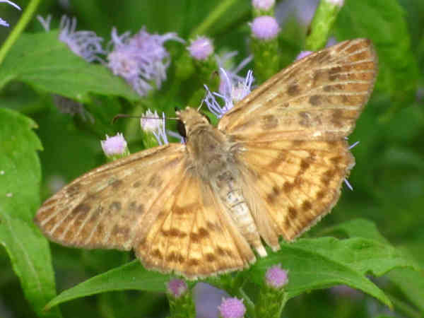 picture of a Brown-banded Skipper butterfly