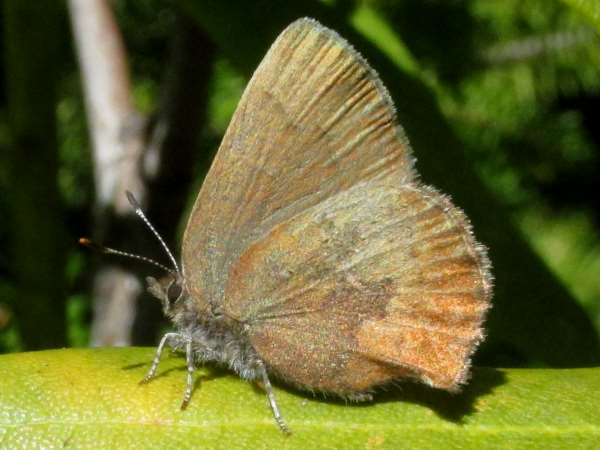 picture of a Brown Elfin butterfly