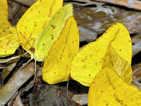 picture of a group of yellow butterflies puddling, part of the types of butterflies section