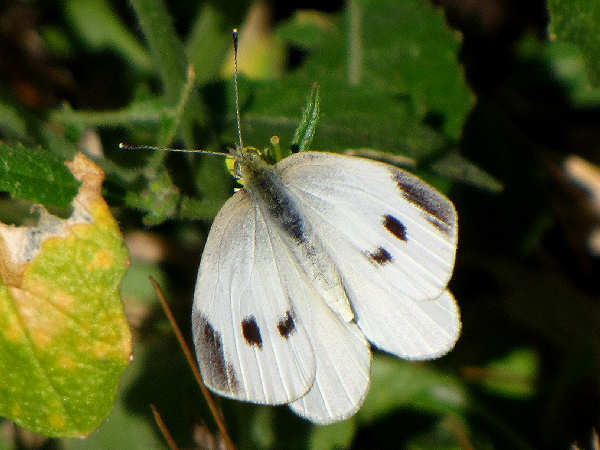 picture of a male Cabbage White butterfly