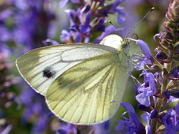picture of a Cabbage White butterfly on flowers