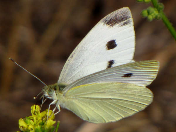picture of a female cabbage white butterfly