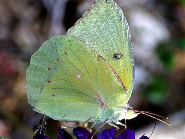 picture of a California Dogface butterfly, the state insect of California