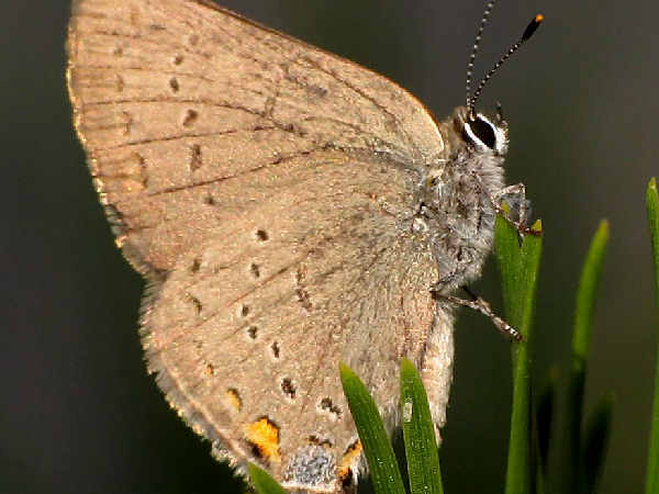picture of a California Hairstreak