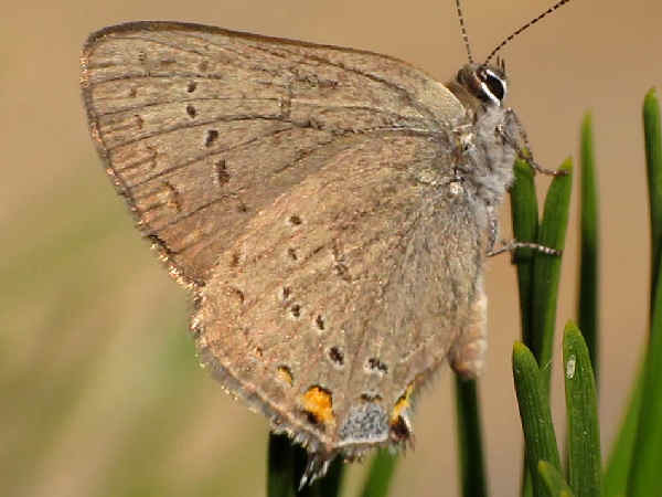 picture of a California Hairtreak butterfly, part of the California butterflies section