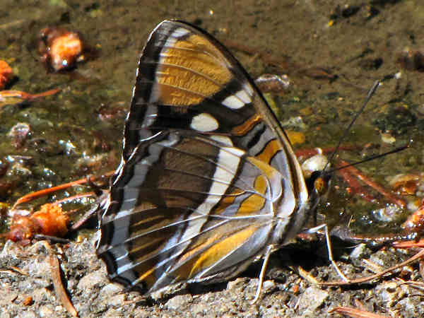 picture of a  California Sister butterfly