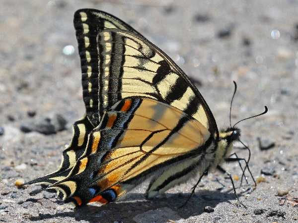 picture of a Canadian Swallowtail butterfly