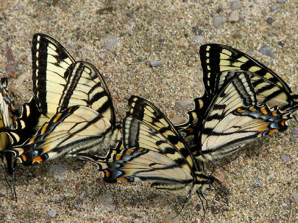 picture of a Canadian tiger swallowtails puddling, part of the types of butterflies series