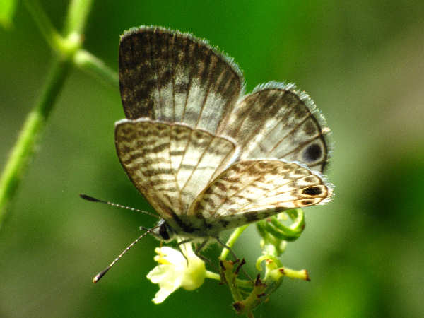 picture of a Cassius Blue Butterfly