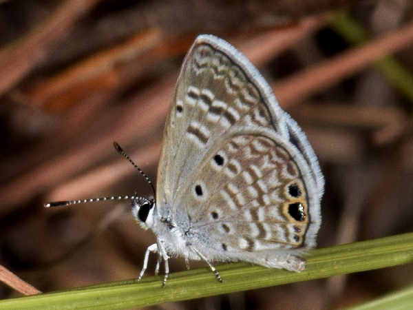 picture of a Ceranus Blue butterfly