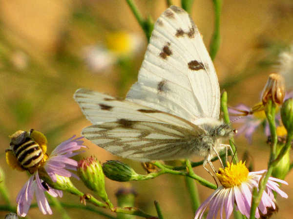 picture of a Checkeered white butterfly