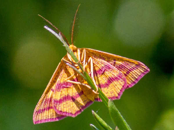 picture of a  chickweed Geometer moth
