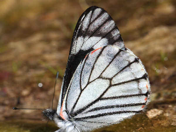 picture of a  Chiricahua white butterfly