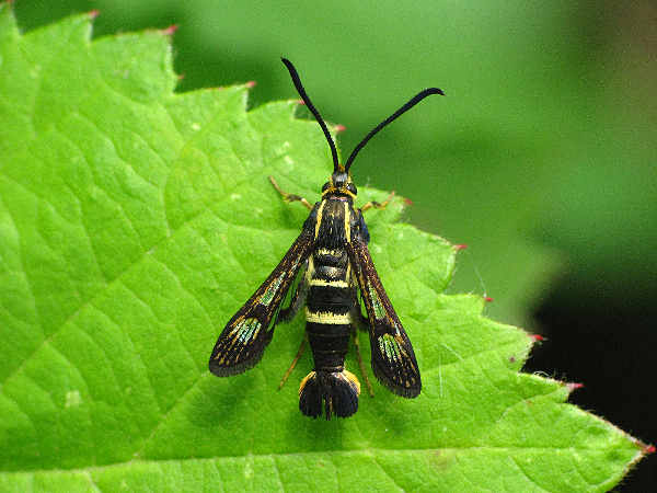 picture of a clearwing moth