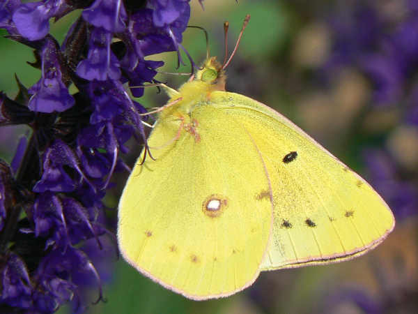 picture of a clouded sulphur butterfly on purple salvia, part of the Tennessee butterflies section