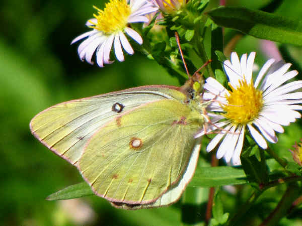 picture of a Clouded Sulphur butterfly, part of the Wyoming butterflies series