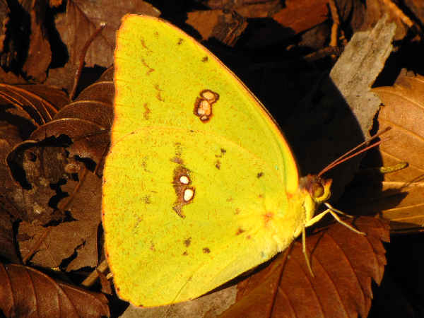 picture of a Cloudless Sulphur butterfly, part of the Illinois butterfly collection