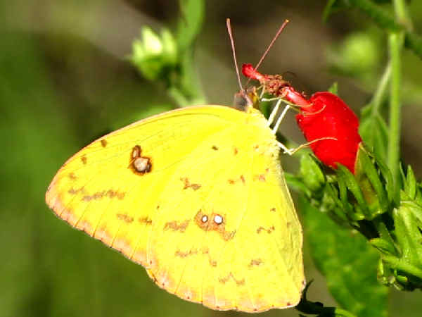 picture of a Cloudless Sulphur