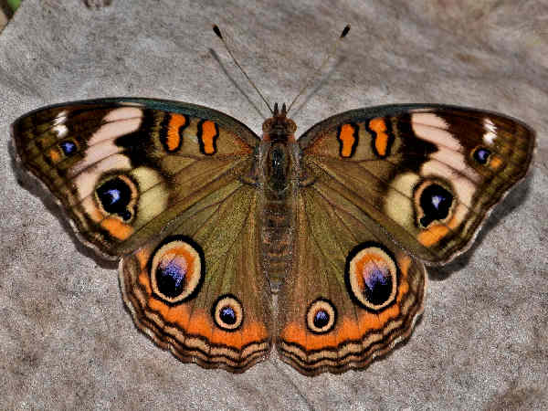 picture of a Common Buckeye butterfly
