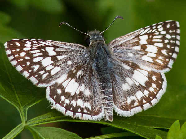 picture of a common checkered-skipper