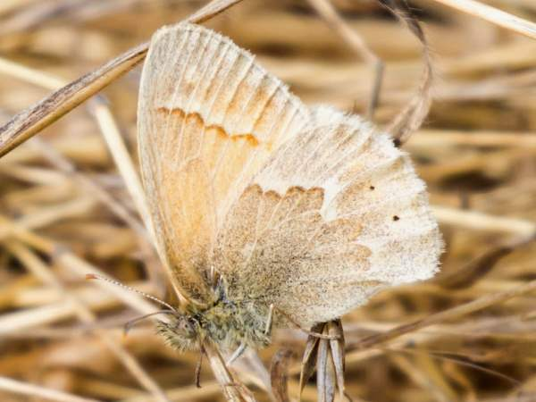 picture of a Common Ringlet butterfly, part of the butterfly images series