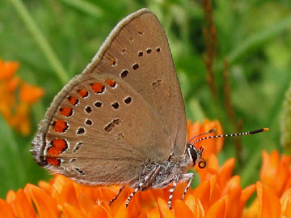 picture of a Coral Hairstreak, credit Benny Mazur flickr