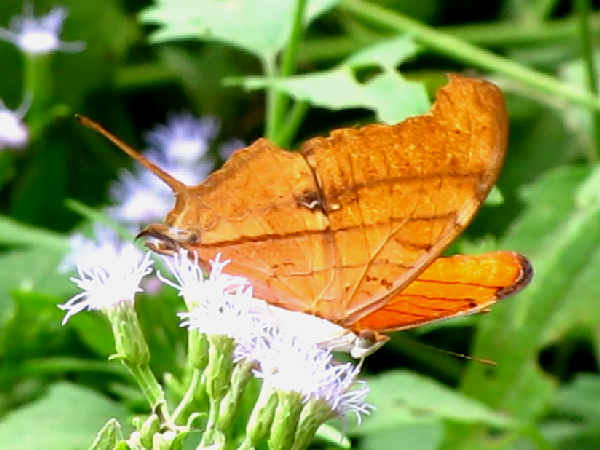 picture of a Ruddy Daggerwing butterfly