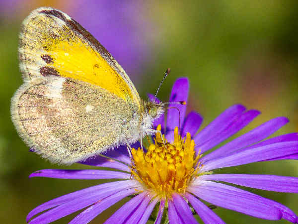 picture of a Dainty Sulphur butterfly on aster