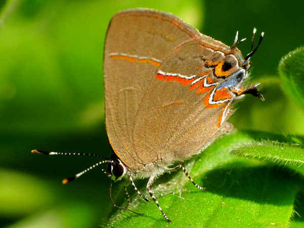 picture of a Dusky-blue Groundstreak butterfly