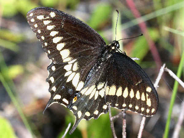 picture of a black swallowtail, the official butterfly of Oklahoma
