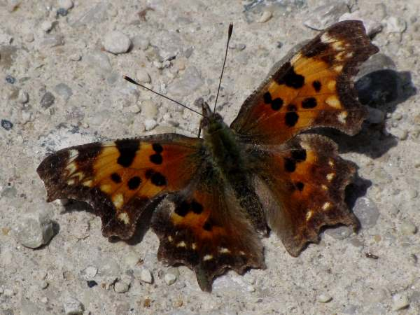 picture of an Eastern Comma butterfly