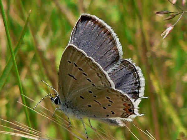 picture of an Eastern-tailed Blue butterfly