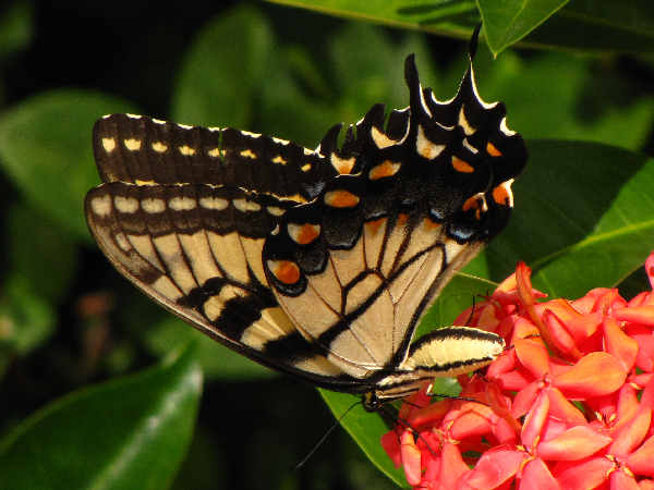 side view of an Eastern Tiger Swallowtail, state butterfly of Virginia