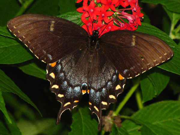 picture of the dark version of the female Eastern Tiger Swallowtail, the official state butterfly of Georgia and part of the Georgia butterflies collection