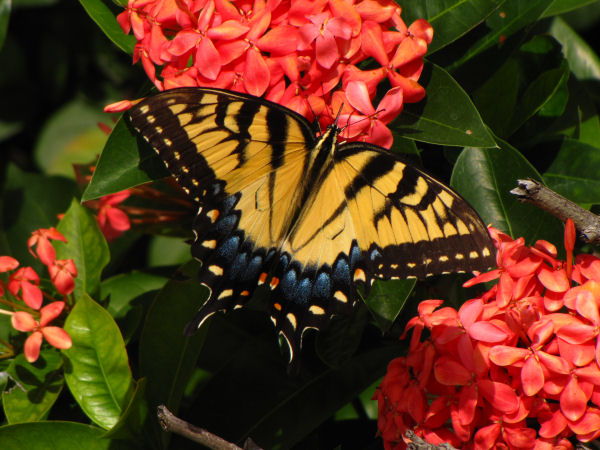 picture of an Eastern Tiger Swallowtail, state butterfly of North Carolina and part of the North Carolina butterflies collection