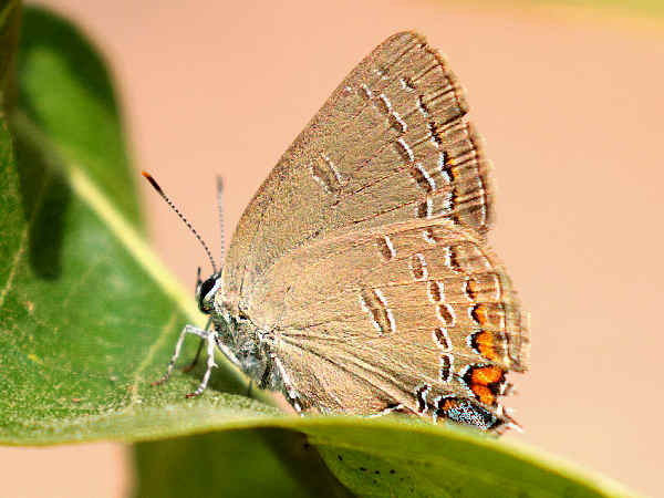 picture of an Edward's Hairstreak butterfly, part of the Alabama butterflies section
