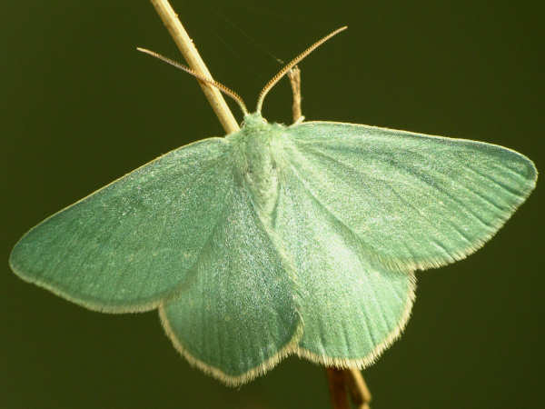 picture of an emerald moth, one of many types of moths with colorful bodies
