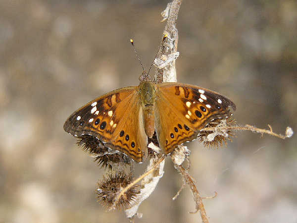 picture of an Emperor butterfly, empress-leilia-butterfly