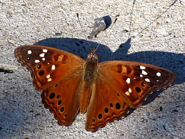 picture of an Empress Leilia butterfly