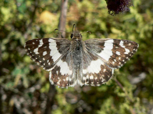 picture of an Erichson's White Skipper