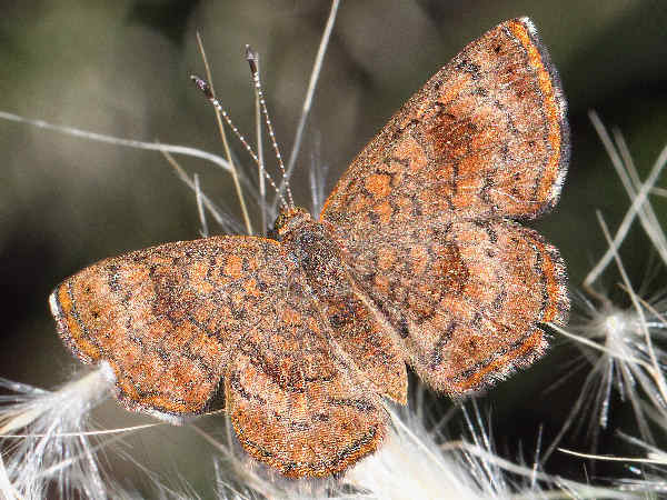 picture of a Fatal Metalmark