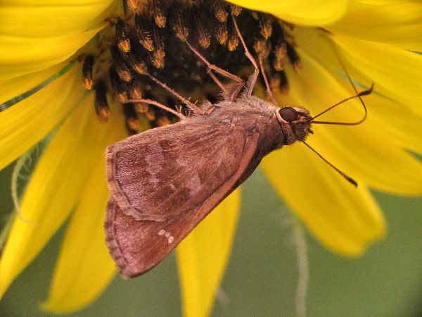 picture of a Fawn-spotted skipper skipper