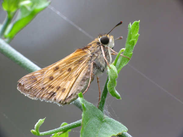 picture of a Fiery Skipper