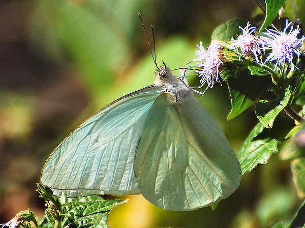 picture of a Florida White butterfly, part of the Oklahoma butterflies section