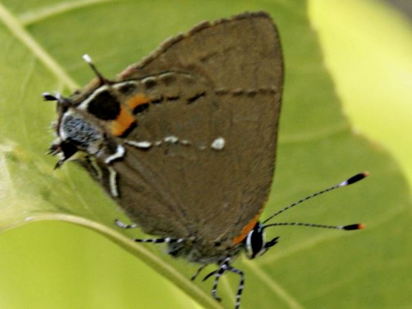 picture of a Fulvous Hairstreak