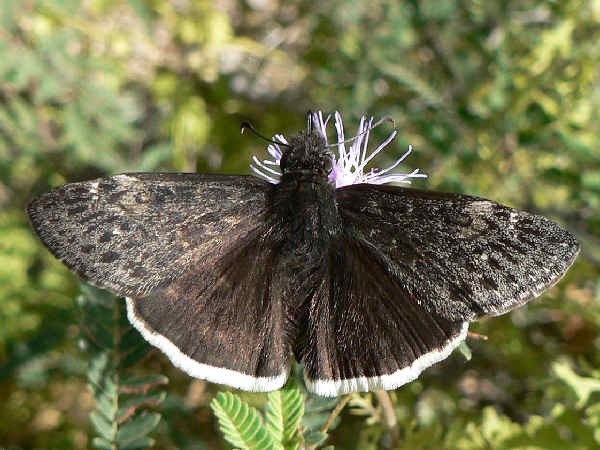 picture of a Funereal Duskywing