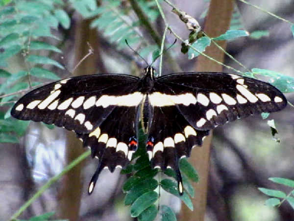 picture of a giant swallowtail butterfly